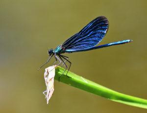 image-libellule-bleue